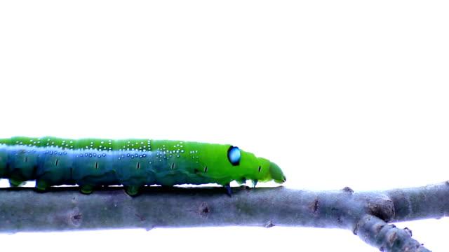 vídeos y material grabado en eventos de stock de oruga verde caminando en la branch - mariposa lepidópteros