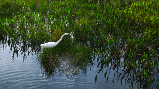great egret, green cay wetlands, florida, usa, america - great egret stock videos and b-roll footage