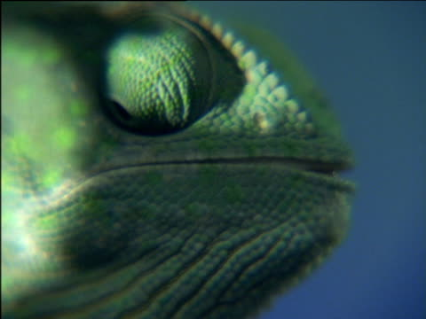 Green chameleon catches flies with tongue