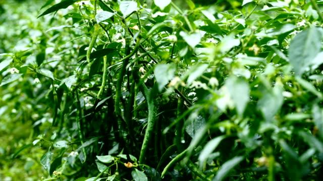 green chili farm - chilli pepper stock videos & royalty-free footage