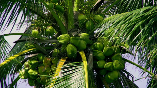 green coconuts cluster at the top of a palm tree. - blattfiedern stock-videos und b-roll-filmmaterial