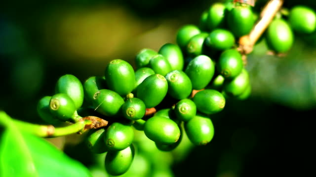 green coffee bean in chiang rai province, northern thailand. - chiang rai province stock videos and b-roll footage
