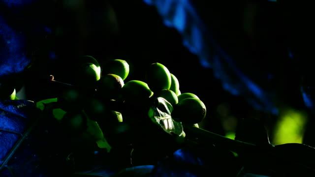 Green Coffee Bean in Chiang Rai Province, Northern Thailand.
