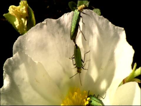 vídeos de stock, filmes e b-roll de green coleopterus beetles mating on white flower, parque natural los alcornocales (cadiz y malaga), andalucia, spain - parque green