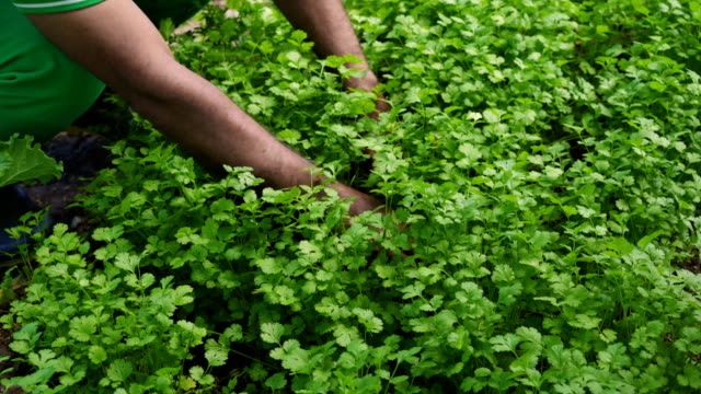 Green Coriander Plantation