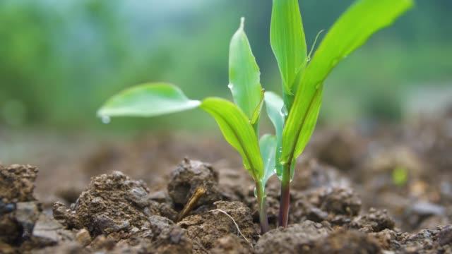 vidéos et rushes de le maïs vert poussant dans le domaine - cereal plant