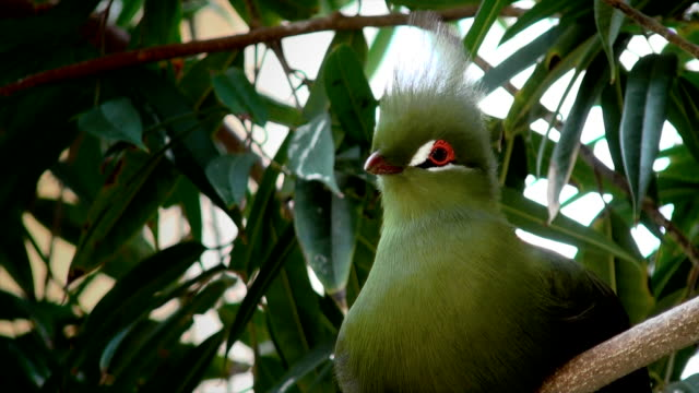 green crested turaco - biodiversity stock videos & royalty-free footage