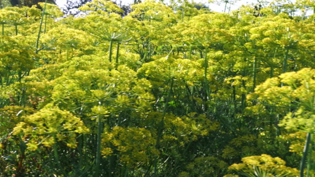 green dill fennel flower - freshness stock videos & royalty-free footage