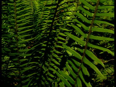 vidéos et rushes de green fern fronds extend upward. - fronde
