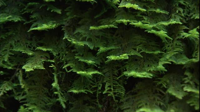 Green ferns grow in Julia Pfeiffer Burns State Park.