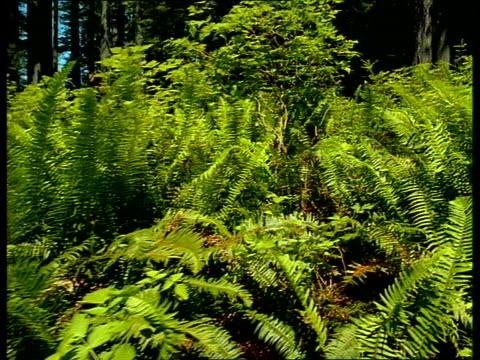 vidéos et rushes de green ferns sway in the wind. - fronde