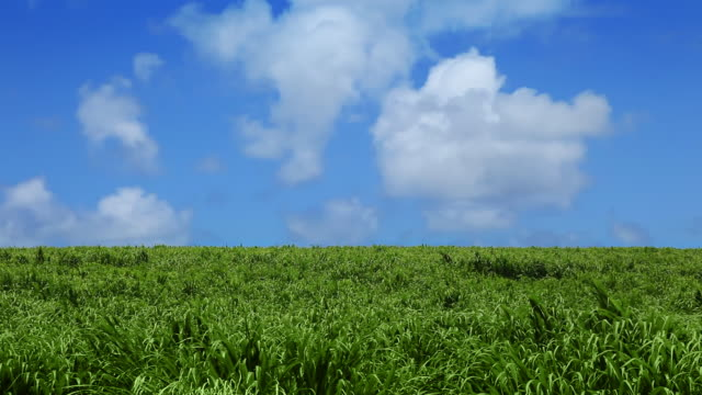 green field and blue sky with clouds - sugar cane stock videos and b-roll footage