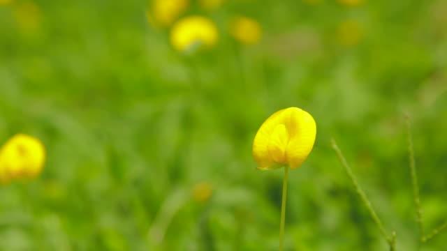 Green field of Pinto Peanut (Arachis pintoi)