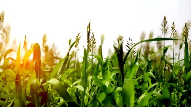 grönt fält vajande genom vinden - durra bildbanksvideor och videomaterial från bakom kulisserna