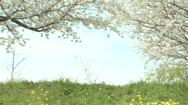 green field with cherry blossoms - 福岡県点の映像素材/bロール