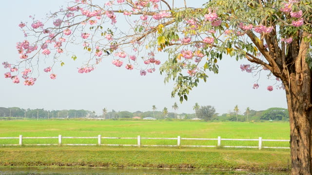 Green field with pink trumpet tree