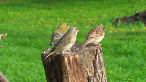 グリーンフィンチと sparrow - スズメ点の映像素材/bロール