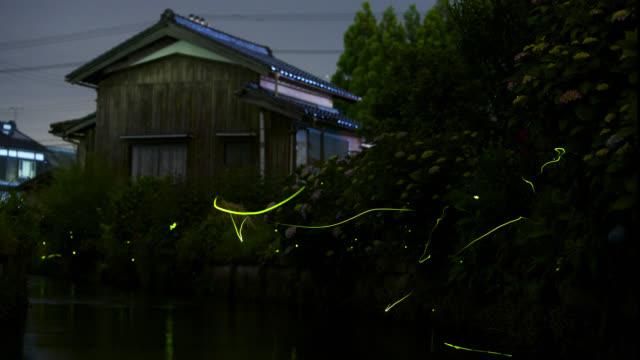 green firefly trails round flowers, japan. - グローワーム点の映像素材/bロール