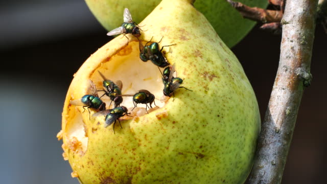 green flies eat a pear - pear stock videos & royalty-free footage