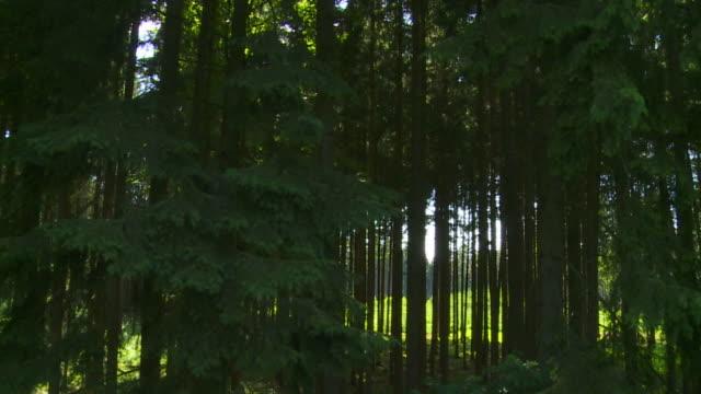vídeos de stock e filmes b-roll de verde floresta plano de seguimento - abeto
