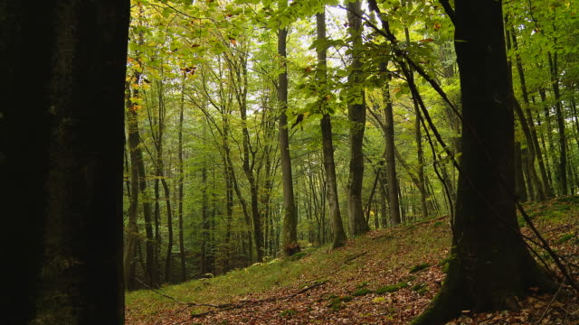 hd dolly: green forest - beech tree stock videos and b-roll footage
