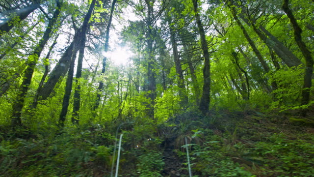 green forest with douglas fir tree - douglas fir stock videos and b-roll footage