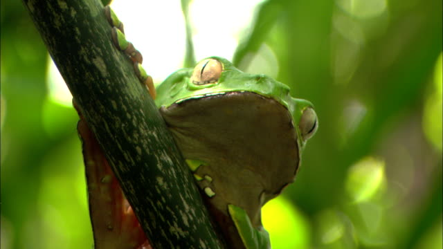 vídeos y material grabado en eventos de stock de a green frog breathes as it clings to a tree branch. - anfibio
