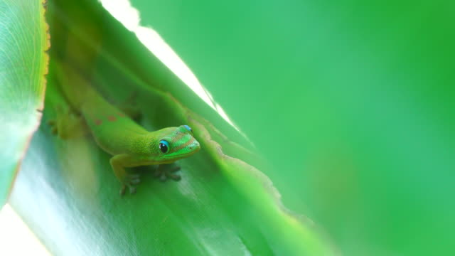 green gecko - phelsuma - réunion french overseas territory stock videos & royalty-free footage