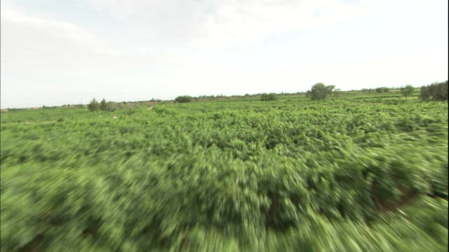 green grape vineyards extend out as far as the eye can see in xinjang uyghur autonomous region, silk road, china - grape stock videos & royalty-free footage
