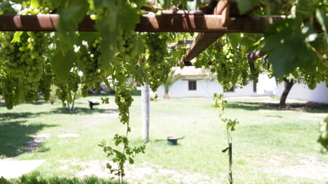 green grapes hanging down in a sunny garden on a property in calera de tango chile calera de tango shows the great jesuit mission art like the... - jesuit stock videos and b-roll footage