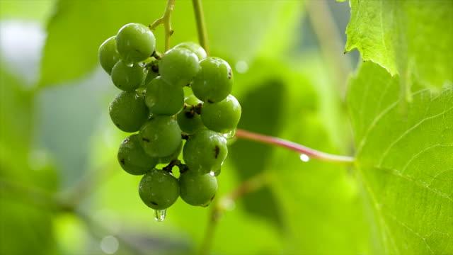 vídeos y material grabado en eventos de stock de verde uvas en la lluvia. - manojo