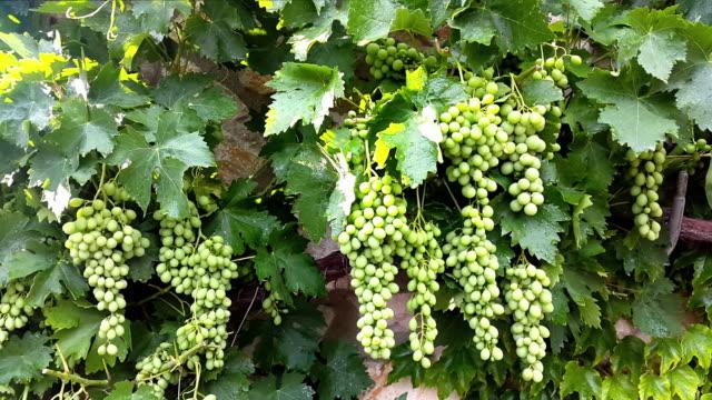 Uvas verdes hojas con luz del sol en el patio trasero de una casa