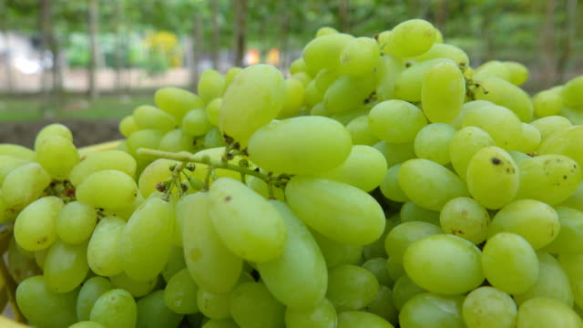vídeos de stock e filmes b-roll de green grapes - ramo parte de uma planta