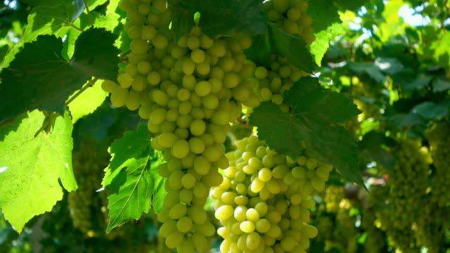 緑のブドウ - ブドウの葉点の映像素材/bロール