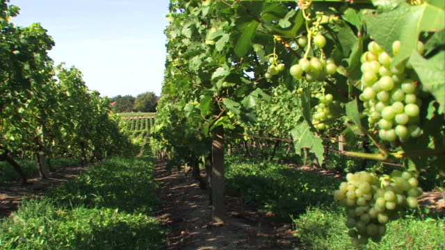 green grapes - vinery - grape leaf stock videos & royalty-free footage