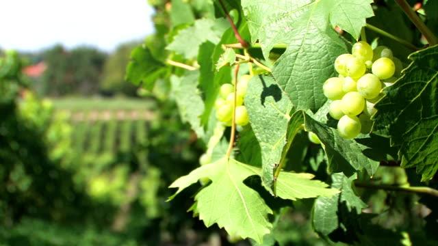 vídeos y material grabado en eventos de stock de uvas-vinery verde - hoja de la vid