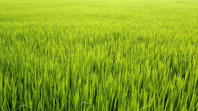 green grass against the wind