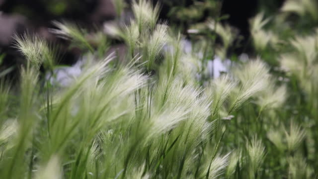 ms green grass blowing in wind / sundance, provo river, utah, usa - provo stock videos & royalty-free footage