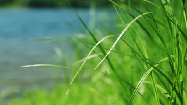 Erba verde del fiume