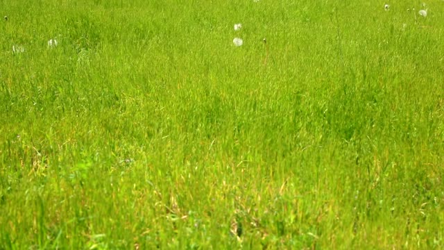 green grass in wind - blade of grass stock videos & royalty-free footage