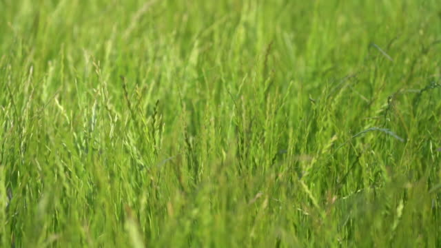 green grass meadow swaying in the wind. slow motion - zona erbosa video stock e b–roll