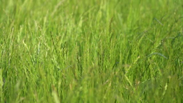 風に揺れする緑の草原。スローモーション - 草地点の映像素材/bロール