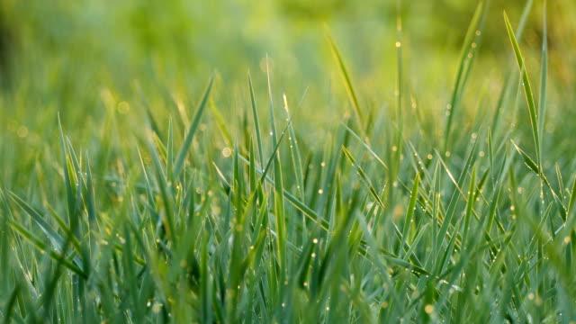 Groen gras met dauw
