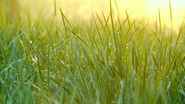 green grass with dew - grass stock videos & royalty-free footage
