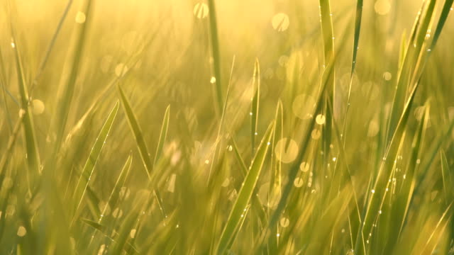 green grass with dew - blade of grass stock videos and b-roll footage