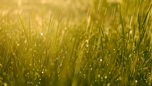 green grass with dew - erba aromatica video stock e b–roll