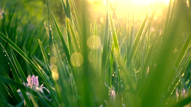 stockvideo's en b-roll-footage met green grass met zonlicht - zonsopgang