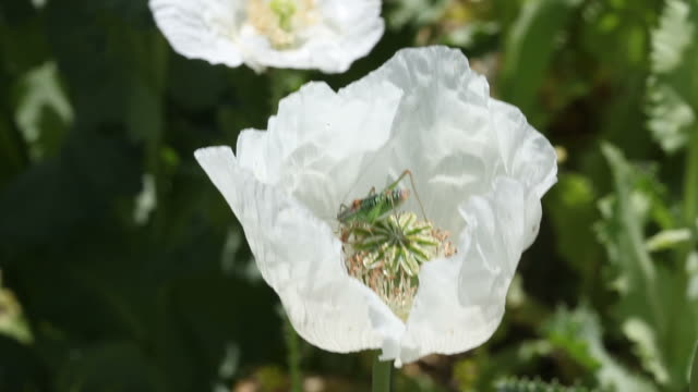 Green Grasshopper On White Opium Poppy Flower