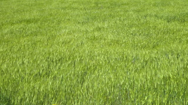 vidéos et rushes de a green grassy field moves in the wind - ballotter