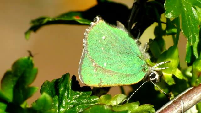 vidéos et rushes de vert papillon porte-queue - des papillons dans le ventre